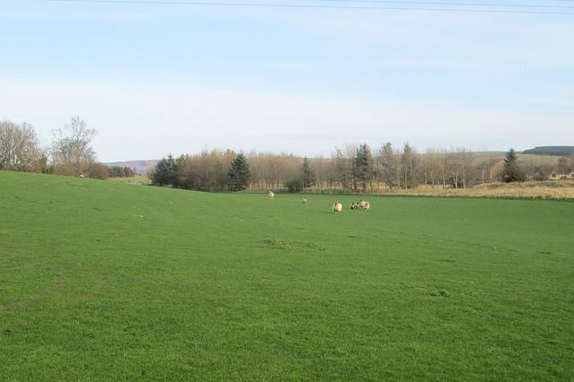 Farm view  sheep, Cove, Scottish Borders