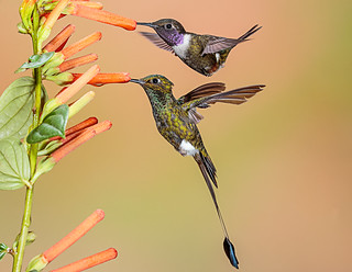 Hummers!