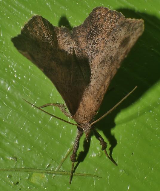 Mantis leg Funnel wings moth Bematha extensa Pangraptinae Erebidae Airlie Beach rainforest P1460488