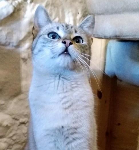 Teryl, preciosa gata siamesa tabby esterilizada nacida en Septiembre´18, en adopción. Valencia. ADOPTADA. 40261898963_4637063fe8_z