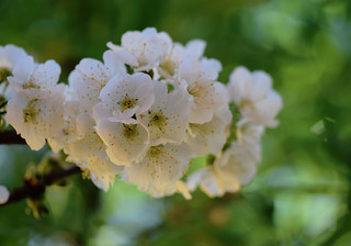 Flor de Cirerer - primavera 2019