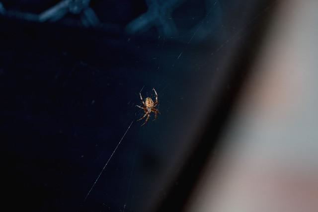 2017 Orb Weaver Spider 2, Nikon D500, AF Micro-Nikkor 200mm f/4D IF-ED