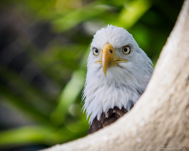Bald eagle - Haliaeetus, Olympus E-M1, Olympus Zuiko Digital ED 50-200mm F2.8-3.5 SWD