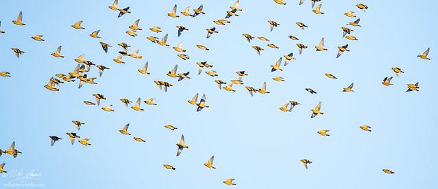 mj_011719_waxwing_swarm, Nikon D500, AF-S Nikkor 70-200mm f/4G ED VR