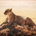 Lioness On Top Of Mound