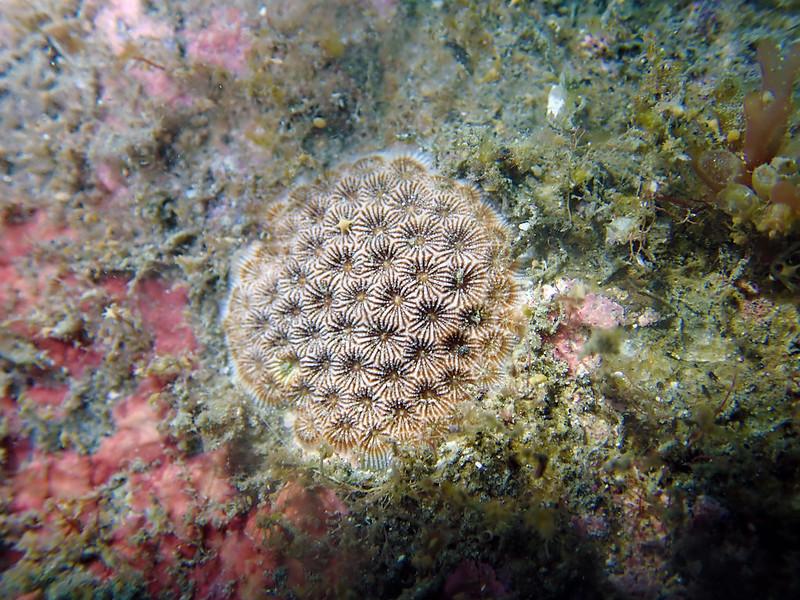福爾摩沙偽絲珊瑚