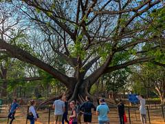 Big Tree in Bangalore
