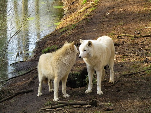 White wolves at Olmense Zoo