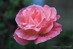 Rosa gota