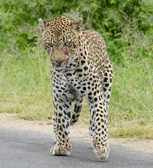 Leopard (Panthera pardus) scarred male on the road ...