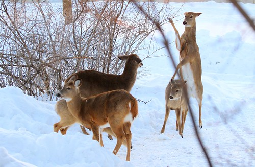 white-tailed deer fighting at Lake Meyer Park IA 653A1949