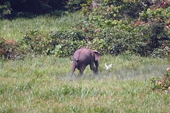 Forest elephant chasing cattle egret