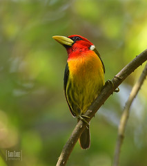 Eubucco bourcierii -Red-headed barbet torito cabecirojo