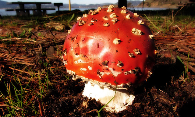 Amanita muscaria, Canon POWERSHOT SX160 IS