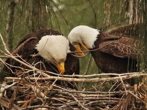 Bald Eagle 6216-20190125
