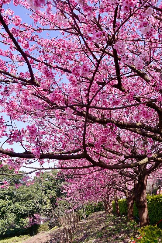 三色櫻花盛開 天元宮