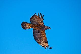 1902_0436 Golden Eagle