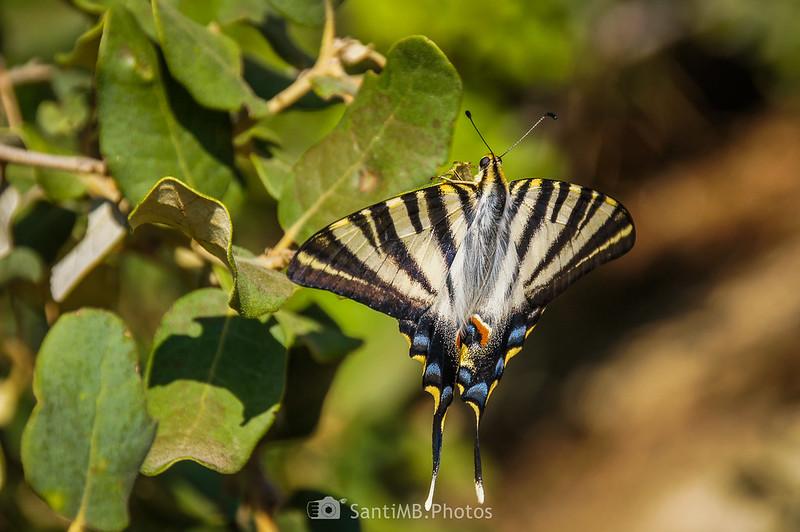 Mariposa podalirio en el Fondo de la Torreta