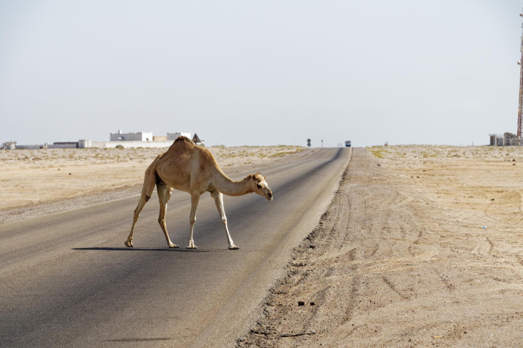 A fairly standard Oman road hazard