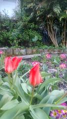 Les tulipes au rendez-vous du printemps