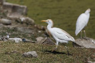 garcilla bueyera (bubulcus ibis) 2