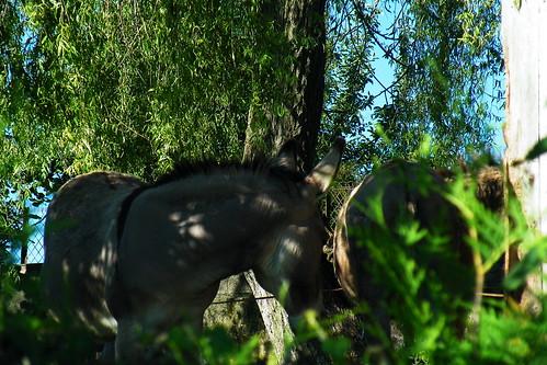 20090529 043 1108 Jakobus Esel Tiere