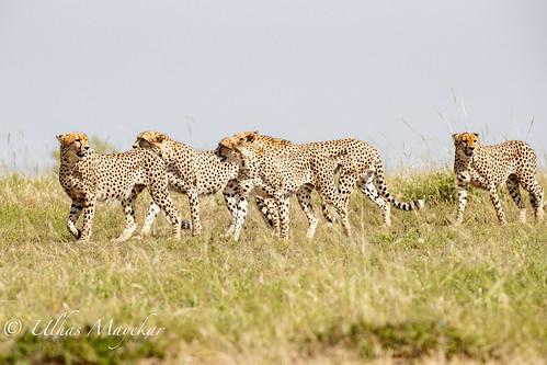 Five Cheetah Brothers