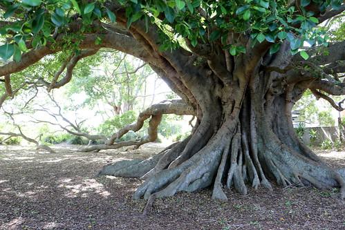 Small leaf fig (Ficus obliqua)
