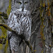 Great Gray Owl by Ceredig Roberts