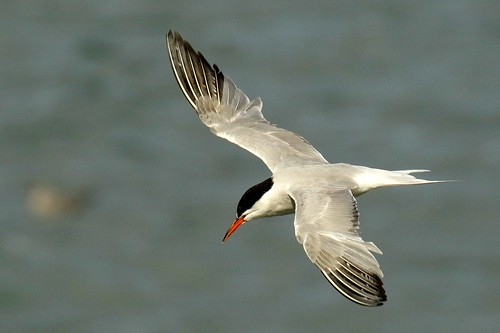 Bird Photography Ireland: Common Tern at Skerries, North Dublin