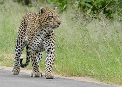 Leopard (Panthera pardus) male walking on the road ...