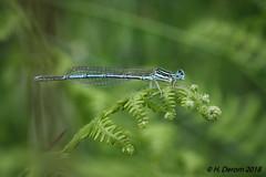Platycnemis pennipes (Pennipatte bleuâtre) - Photo of Pensol