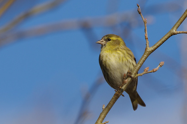 K32P9180c Siskin, Lackford Lakes, January 2019