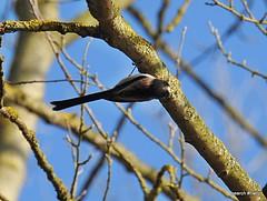 (Aegithalos caudatus) Long-tailed tit.