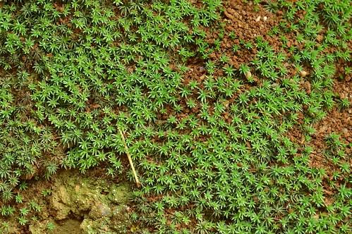 スギゴケの一種/Polytrichum sp.