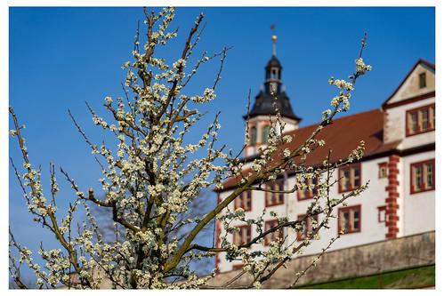 Kirschblüte auf dem Schlossberg.