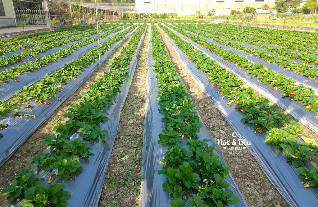 小農夫草莓園04