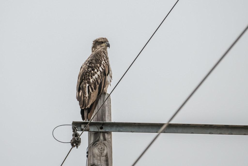 Bald Eagle Junvinile 2-1