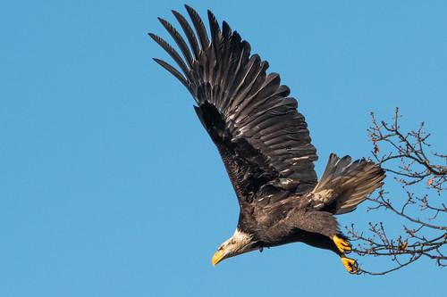 American Bald Eagle_1NG6127