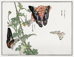 Butterflies and plant illustration from Churui Gafu (1910) by Mo