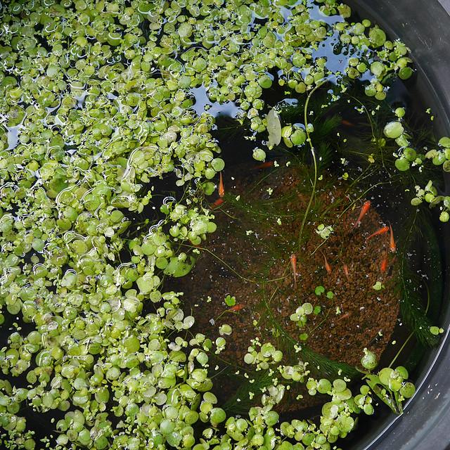 1080x1080 Mini Pond 0220