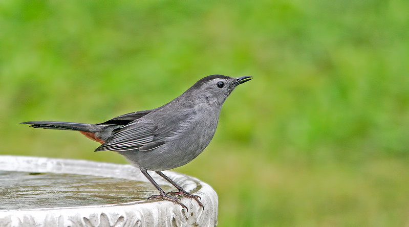 Gray-Catbird-20D_2005