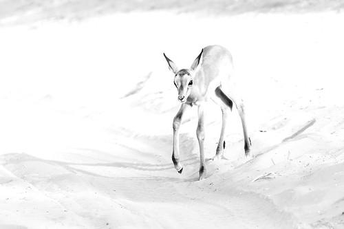 Impala fawn