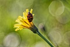 Coccinellidae - Ladybug - Coccinelle - Photo of Montet-et-Bouxal