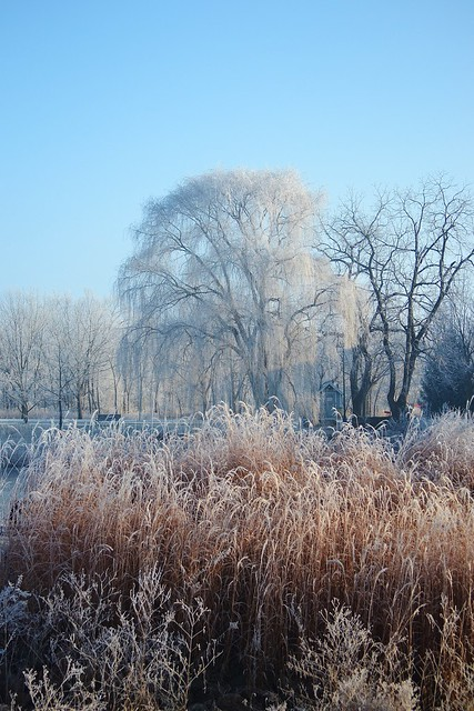 Frosted Willow, Frosted Grass