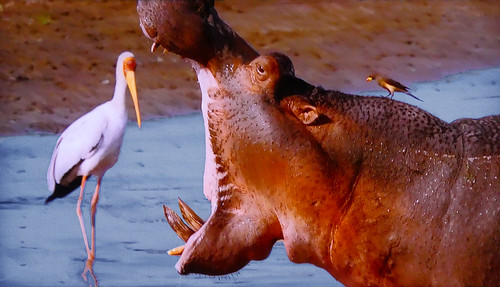 AFRICA - No! The hippo will not eat the heron!!