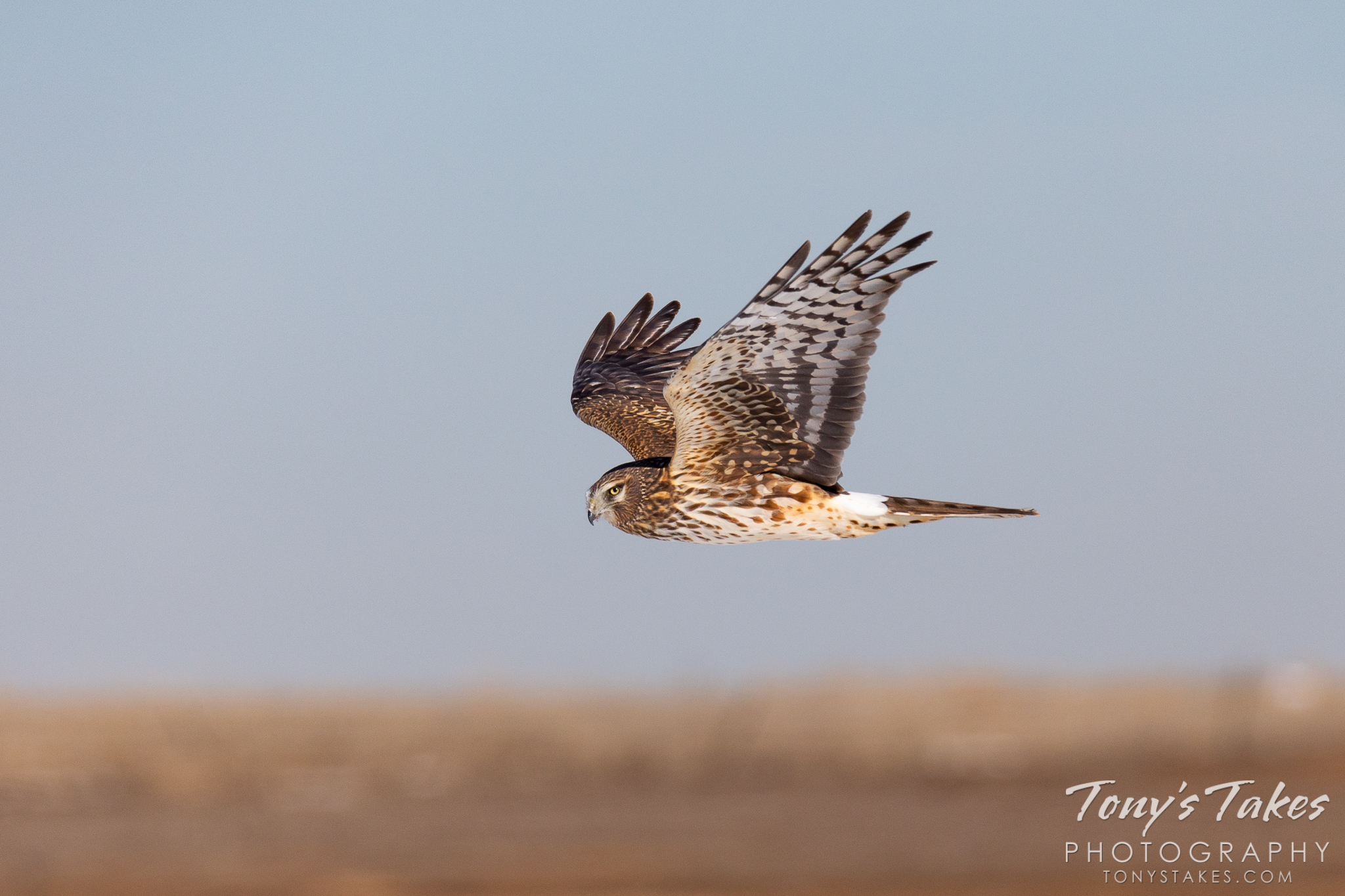 A female northern harrier keeps close watch on the photographer while patrolling the Great Plains. (© Tony's Takes)