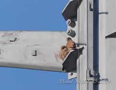 Faucon crécerelle Falco - tinnunculus - Common Kestrel : Michel NOËL © 2019-8741.jpg