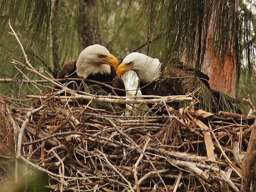 Bald Eagle 6134-20190125