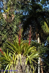 Vriesea philippo-coburgii no habitat
